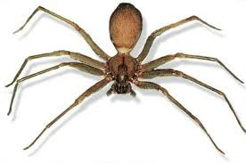 "The brown recluse spider is also called the ""fiddleback spider"", due to what some delusional scientists insist is a distinct violin shape on its dorsal (back) side. Do you see it? No? Me neither. The designer of the brown recluse ought to have his pay docked."