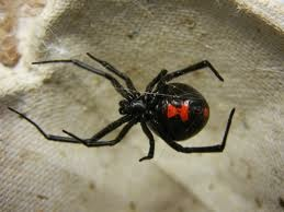 Whoever designed the Black Widow should receive a promotion. Her sinister appearance serves as an ingenious early warning system to would-be prey.